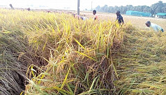 Rajshahi Aman Production:  Lack of fair...