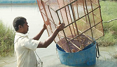 Sundarban crabs in high demand global market