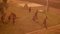 Battle to save Australian wildlife as...