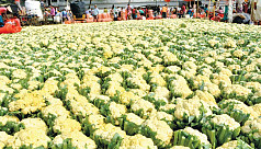 Bogra farmers happy with cauliflower, cabbage yield, fair price