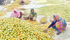 Jamalpur tomato farmers delighted by bumper yields and healthy profits