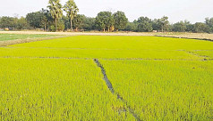Khulna farmers losing interest in Boro...