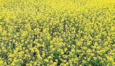 Mustard farming gains popularity in Madaripur