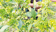 Pest attack on plants worries Manikganj chili growers