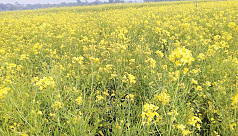 Mustard farming on rise in Natore