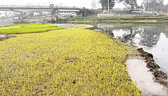 Cold weather damages Boro seedlings...