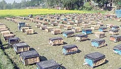 Tangail farmers turning away from honey farming