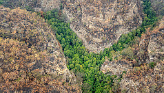 Australia's dinosaur-era pines live on after bushfire rescue