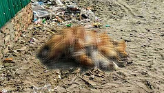 Mass dog culling on St Martin's Island