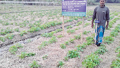 Potato cultivation prospers on abandoned Koyra farmlands