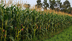 Farmers happy with maize cultivation in Kaliganj