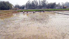 Nilphamari farmers begin Boro cultivation...
