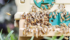 Honey fair: Cultivators face steep...