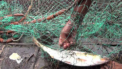 Ilish catch rises in Shariatpur