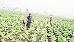 Alarming rise in tobacco farming in Nilphamari