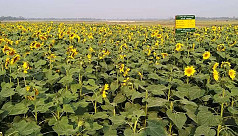 Sunflower to bring fortune for Brahmanbaria...