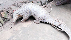 Endangered pangolin rescued in...