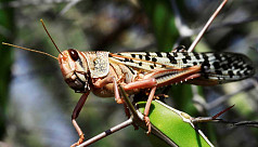 FAO: No threat of desert locust invasion in Bangladesh