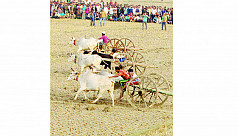 Bullock cart race in Jessore