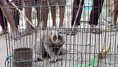 Rare Bengal Slow Loris rescued in Sunamganj