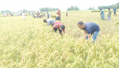 Locals help farmers harvest Boro in Moulvibazar haor regions