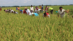 Locals sign up to help farmers with this year's harvest in Gopalganj