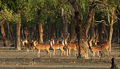 Poaching the Sundarbans spotted deer: Undaunted by pandemic
