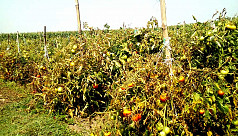 Panchagarh tomato farmers count losses for falling prices