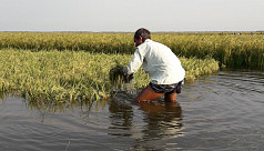 Farmers harvest half-ripe paddy as rain, upstream waters inundate croplands