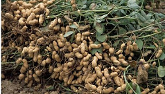 Bumper groundnut output brings smile to Manikganj char people