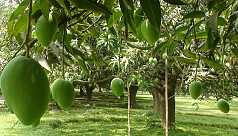 Mango farmers fear potential loss this...