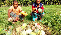 Hailstorm damages farmers' melon fields in Bagari village of Jhalakathi