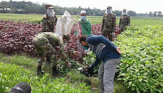 Army comes to farmers' rescue by procuring vegetables directly from fields in Kushtia