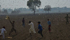 Pakistan turns locust threat into chicken feed