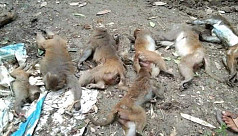 Monkeys killed with poison in Madaripur