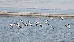 Oceanic birds make unusual visit to Rajshahi
