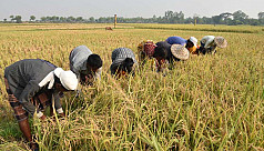 Rajshahi Boro paddy harvest reaches...