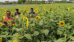 Sunflowers thrive in saline soil after...