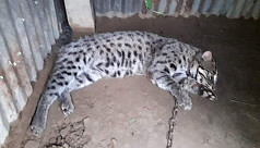 Endangered fishing cat rescued in Sylhet