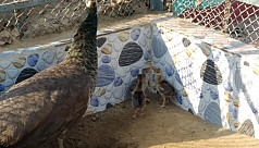 Peafowl population grows in Chittagong...