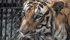 BJP leader opposes serving beef to tigers in Assam zoo
