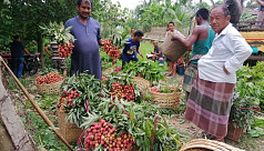 Lychee-growers in Rangamati suffer losses...
