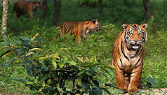 World Tiger Day Wednesday