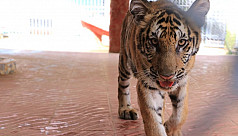 Tiger cub 'Corona' doing well at Chittagong Zoo