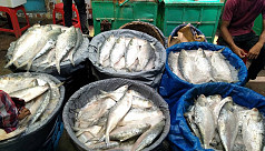 Ilish flooding Chandpur fish...