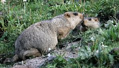 Russia cracks down on marmot hunting after bubonic plague alert