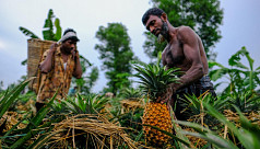 In pictures: Bumper pineapple production...