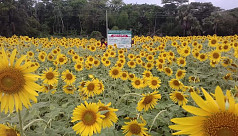 Sunflower farming target exceeds by 5.31 times in Rangpur region