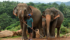 Virus gives Sri Lanka's threatened elephants a reprieve