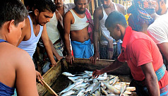 Ilish in dwindling numbers frustrate fishermen in Bhola